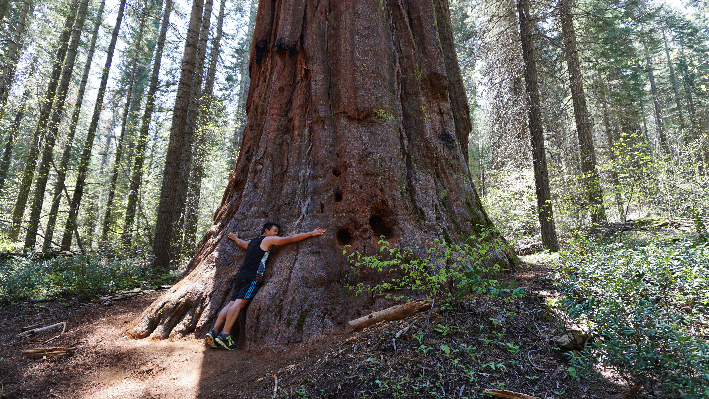 Andy krammer et sequoiatræ i Yosemite